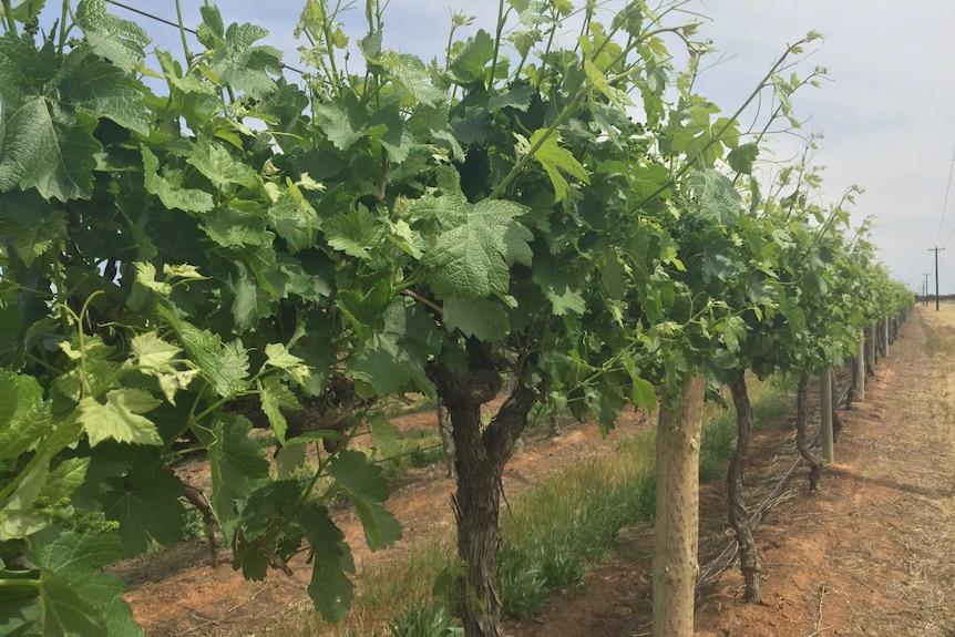 Wine grape vines in Victoria's Sunraysia.