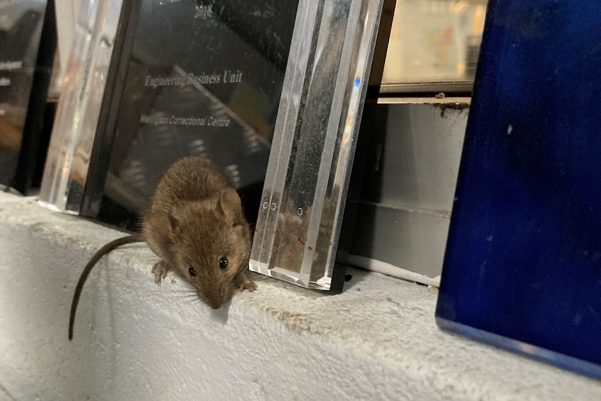 A mouse perched on a ledge in an office
