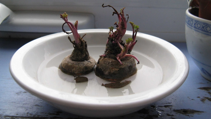 Two purple carrot tops sprouting while sitting in a bowl of water, growing veggies from scraps during the coronavirus pandemic.