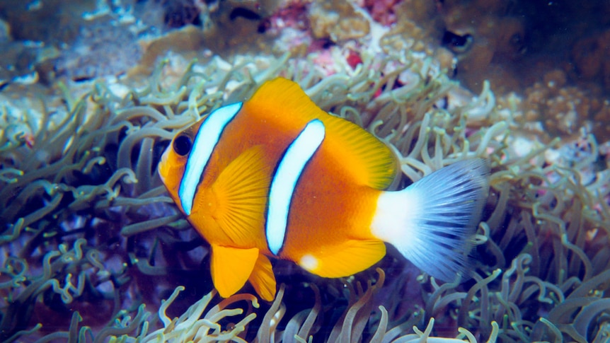 Bright coloured clown fish on the Great Barrier Reef.