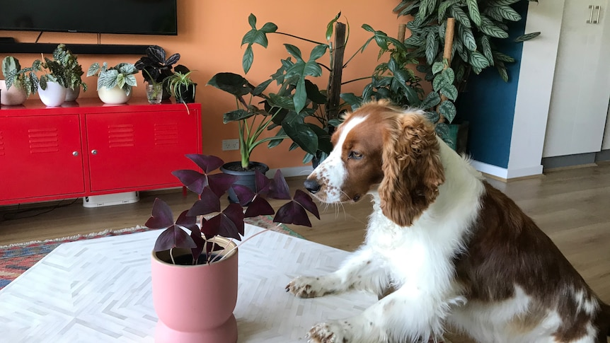 A dog sniffing a houseplant.