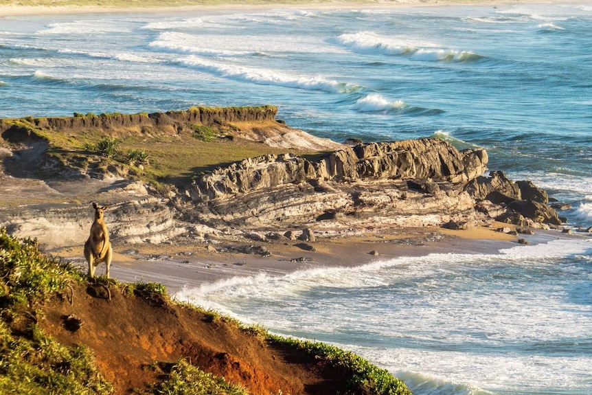 A kangaroo stands on a cliff above the ocean in Yuraygir National Park