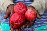 Hands holding three red bush apples