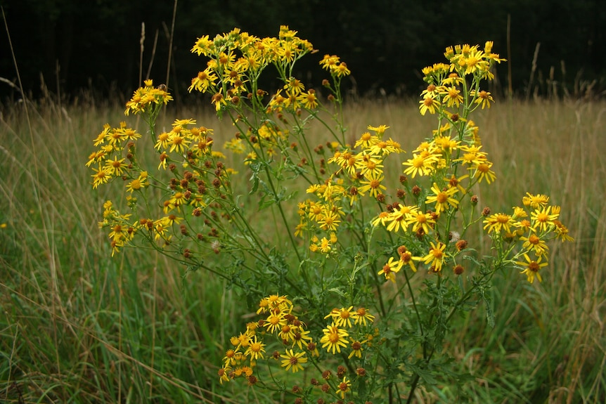 A ragwort bush in a field with bright yellow flowers in front of other grasses