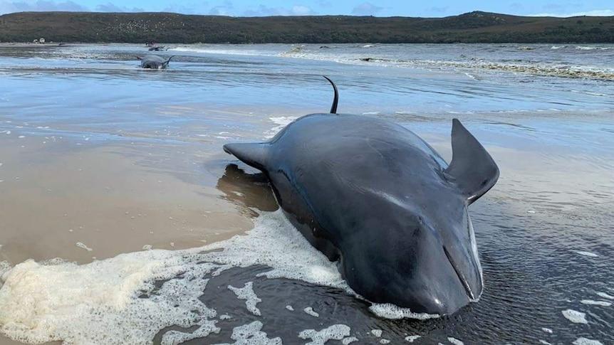 A stranded pilot whale lies on its side on a beach near Strahan on the west coast of Tasmania.