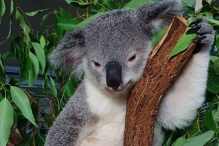 relaxing koala thumbnail