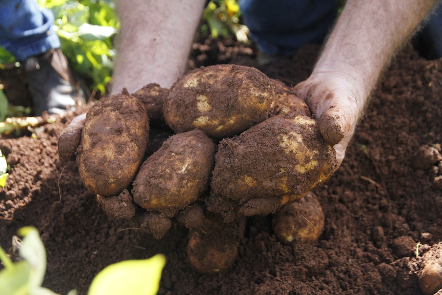 a close up photo of hands holding potatoes that have just been dug out of the ground