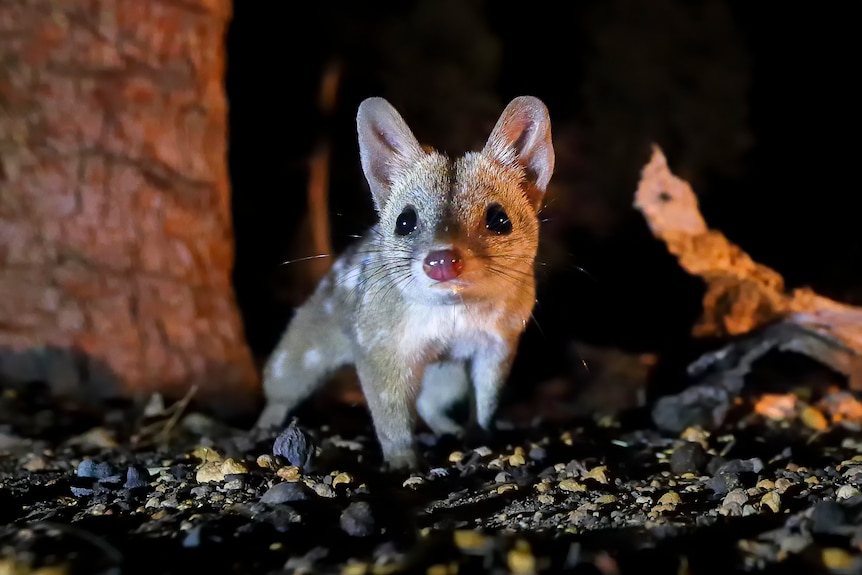 A western quoll, lit up at night with trees in the background.