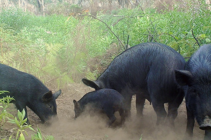 A group of feral pigs nosing around in some scrub.