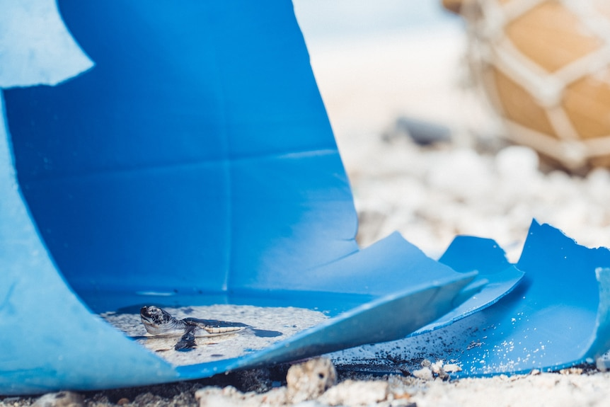 A turtle hatchling swims in a discarded blue plastic container on a beach