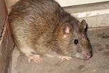 A brown rat in a corner