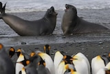 Macquarie Island picture teaser image.