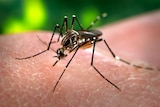 An Aedes aegypti species mosquito feeding on a human.