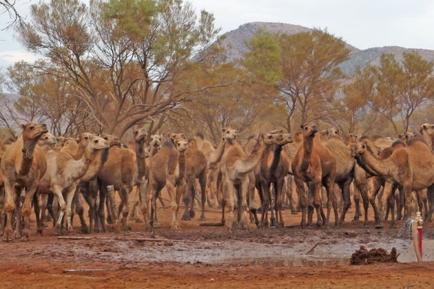 Camels drinking