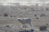 Skinny sheep kick up dust as they search for feed