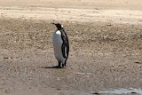 Picture of a large black and white bird on a beach