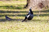 An Australian Magpie stands with it's beak aloft, feathers bristled, singing gloriously as dappled sunlight passes over grass.