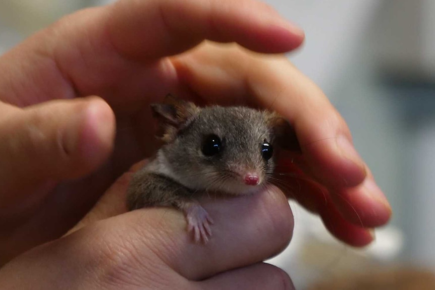 The head of a native marsupial poking out some woman's hands