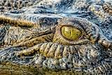 A closeup of a crocodile's eye.