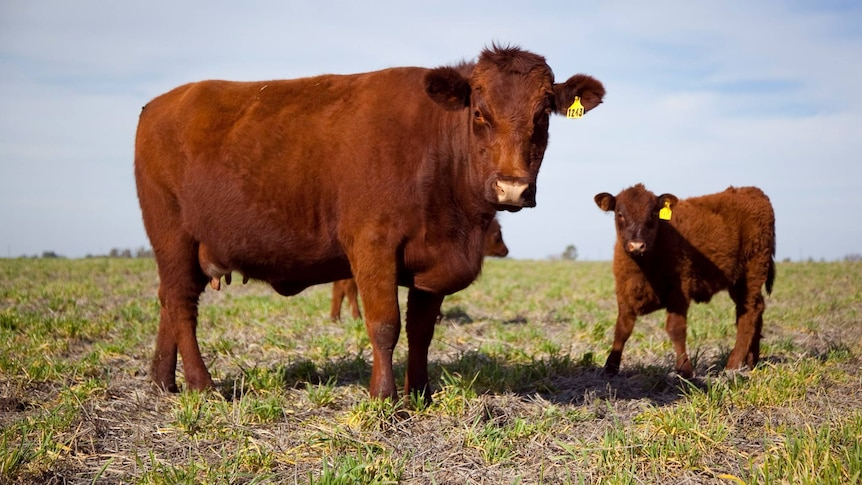 A cow and a calf standing in a paddock.