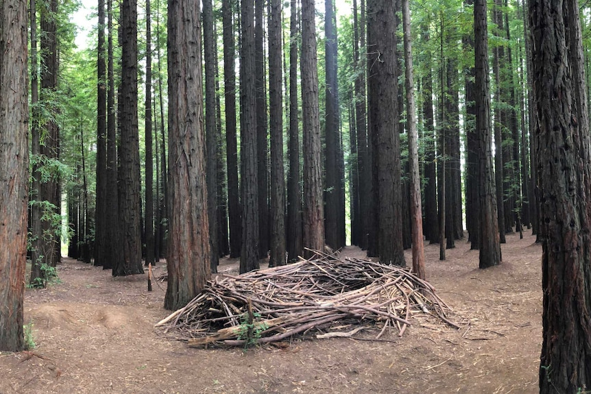 The a nest maked out of twigs in a redwood forest.
