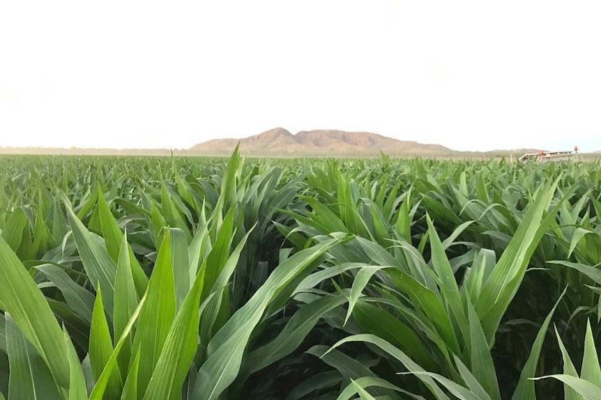 New growth of corn crop