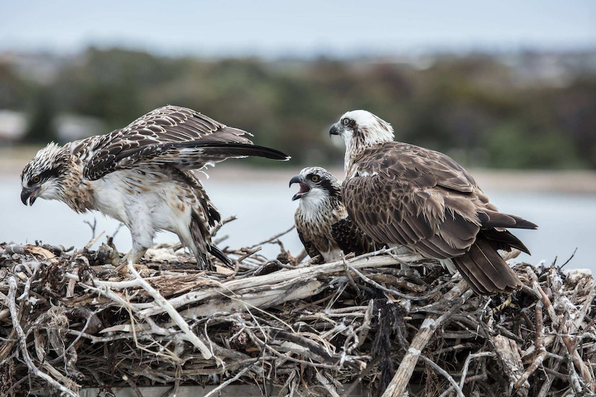 An osprey chick feeds while its mother and sibling watch on.