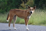 A red coloured dingo standing on a road with bushland in the background