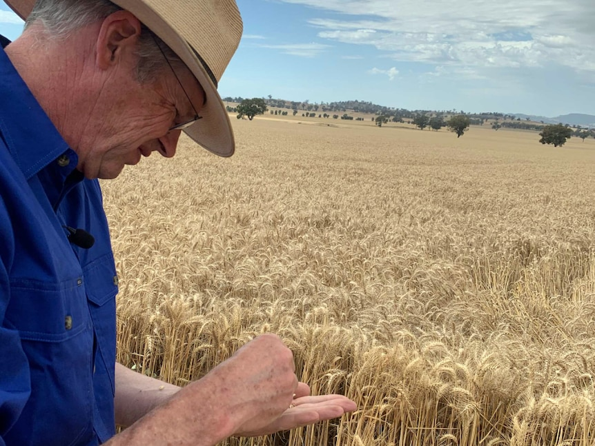 A farmer inspects his wheat crop before harvest.