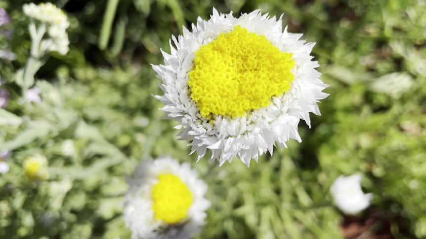 Large white flower with oversized yellow centre