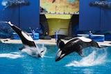 Trainers have Orca killer whales perform for the crowd