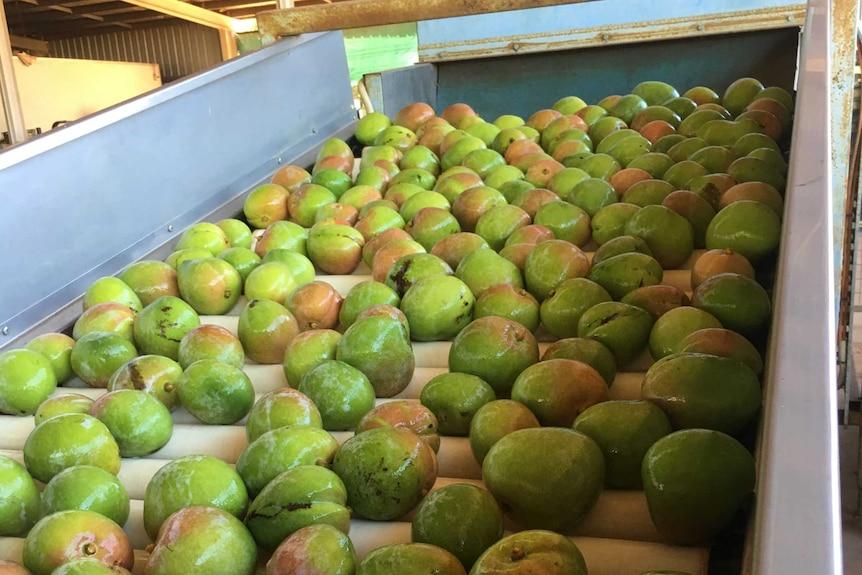 Green mangoes travelling down a conveyer belt.