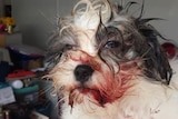 Buster the lucky dog injured