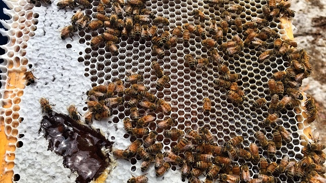 Bees on a honeycomb frame.