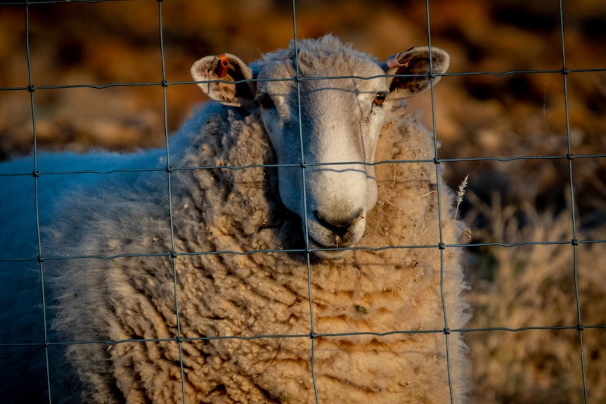 A sheep looks through a wire fence; small leaves and twigs are sticking to its wool.