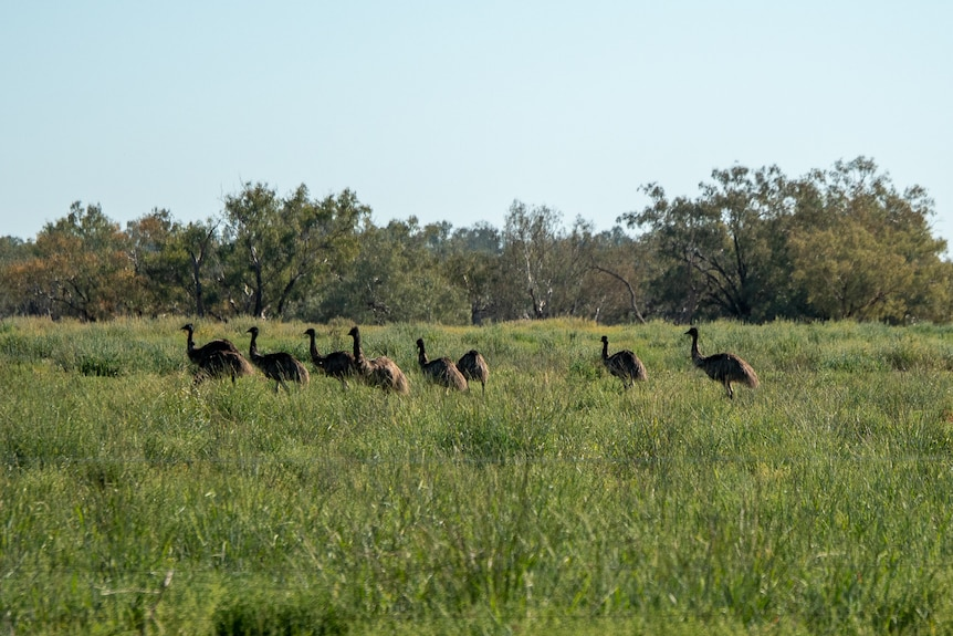 A mob of emus graze on the flood plain near Bourke in April 2021.