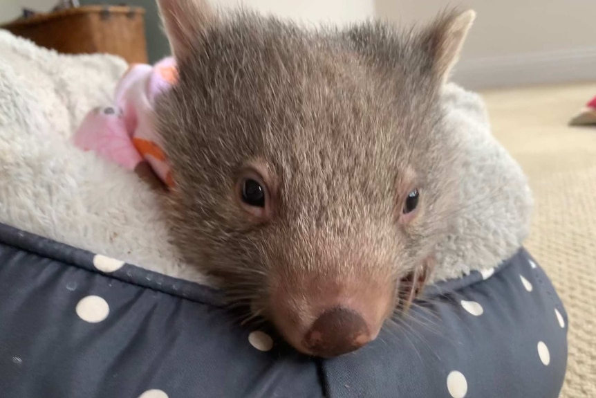 A young wombat in a fluffy pouch inside the home of a wildlife carer