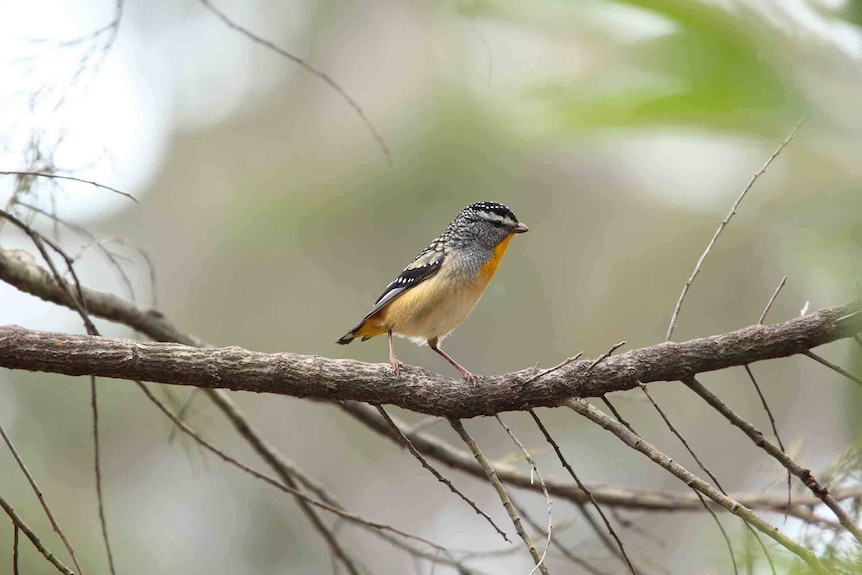 Spotted pardalote sits on a branch