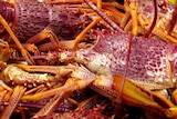 Tasmanian rock lobsters from  fisheries on the east and north coasts