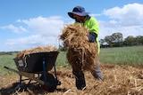Farm worker moving oaten straw