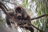 A western ringtail possum in a gum tree, another is behind it