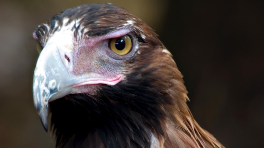 Wedge-tailed eagles can grow to a wing-span of 2.5 metres (file photo)