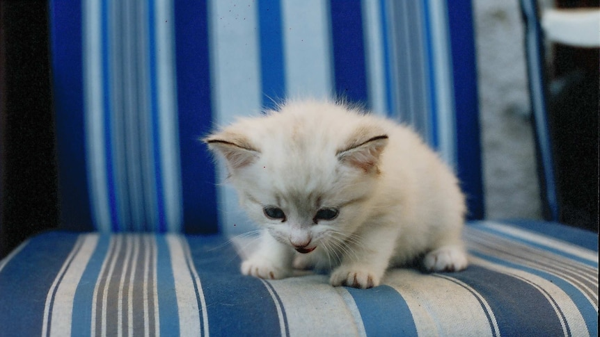 A white cat similar to the 11-week-old kitten which was euthanased by the RSPCA