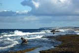 Two people collecting abalone in shallow water