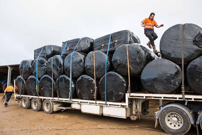 Volunteers strap hay bales down on the trucks before heading off