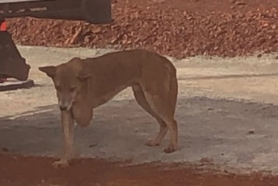 A dingo at a mine site with three legs