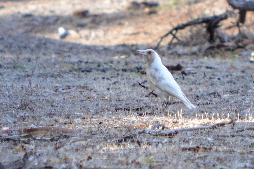 A pale brown and white magpie standing among short dry grass littered with dead branches, leaves and bark.