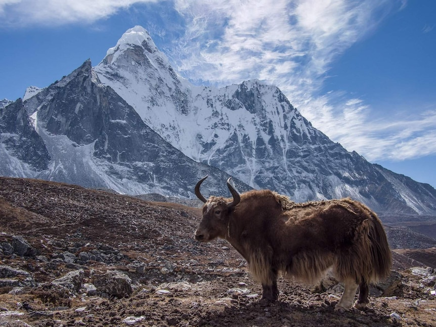 A sweeping landscape photo shows a yak pictured in front of a snow-capped mountain on a clear day.