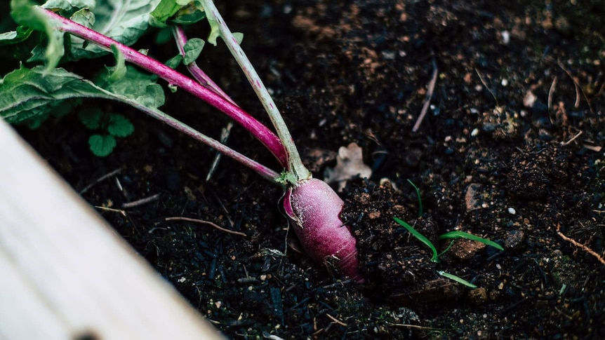 Turnip in the soil for a story about what to plant when