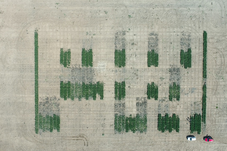 An aerial photo of green checkered plots of wheat at a soil testing site at a property near Goondiwindi, QLD, August 2021.